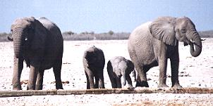 elephants2.JPG (12622 bytes)