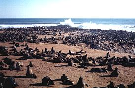 Seal colony at Cape Cross Namibia